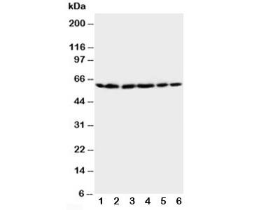 HSP60 Antibody