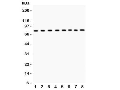 MCM7 Antibody