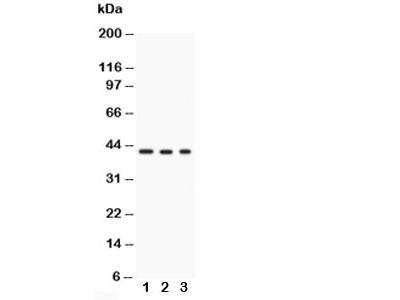 GAP43 Antibody