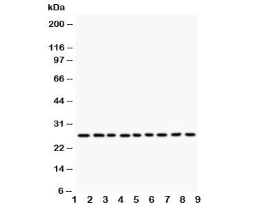 Kallikrein 6 Antibody