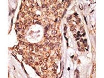 ICOS Antibody