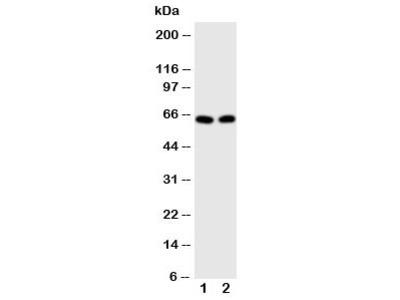 E2F1 Antibody