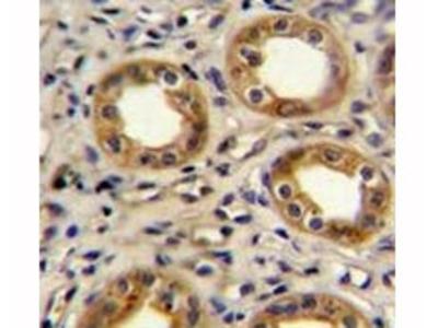 CXCR3 Antibody