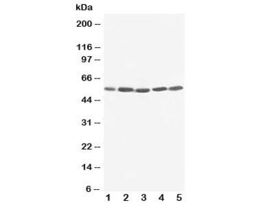 KIM-1 Antibody