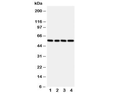 TXNRD2 Antibody