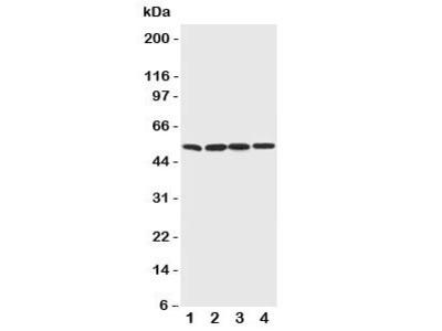 BAG5 Antibody