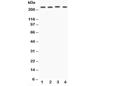 Notch1 Antibody