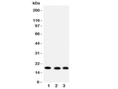 UBC9 Antibody