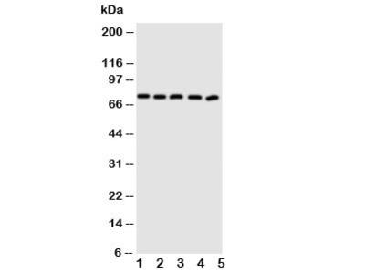ABCG5 Antibody