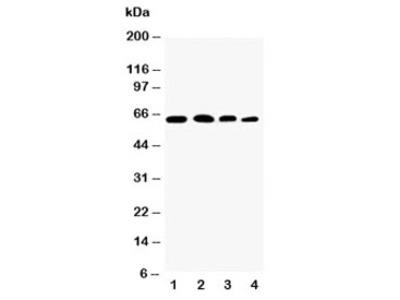 p65 Antibody NF-kB