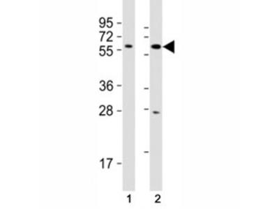 SOX10 Antibody