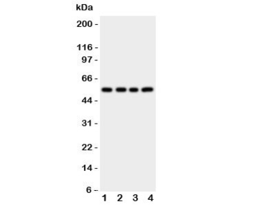 Cystatin A Antibody