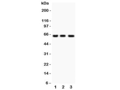 RELA Antibody NF-kB p65