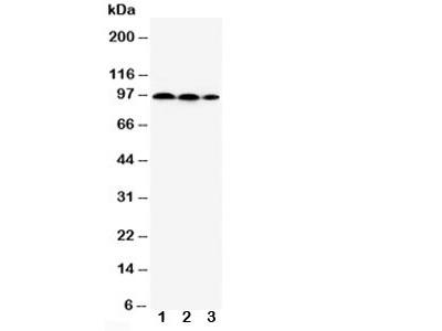 HIF2a Antibody