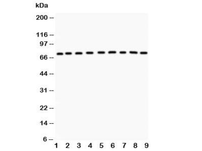 GHR Antibody (Growth hormone receptor)