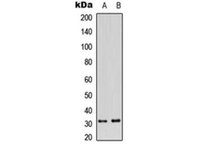 CD159a antibody