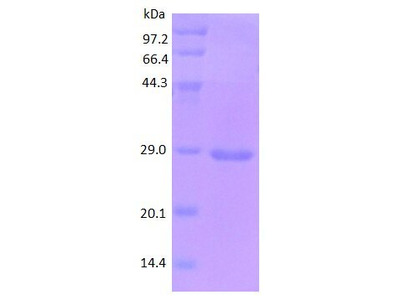 ICAM1 protein