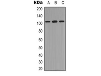 NF-kappaB p105 (Phospho-S893) antibody