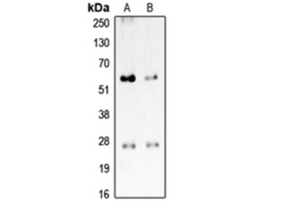 CD201 antibody