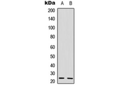 IL-22 antibody