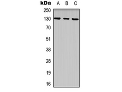EPHB1 antibody