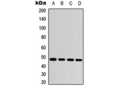 c-Jun (Phospho-S63) antibody