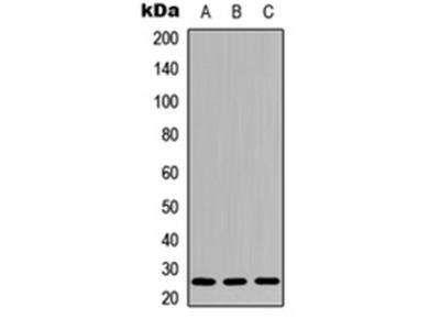 IL-26 antibody