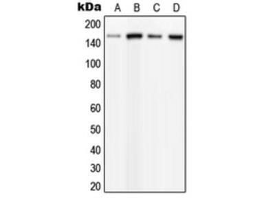 Anti-PLCB3 (phospho Ser537) antibody