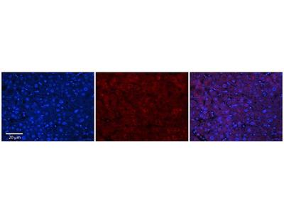 Anti-ABHD14A antibody, Internal
