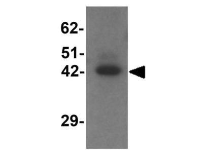 Anti-TMEM59L antibody