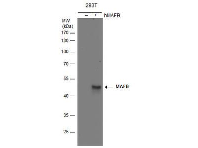 Anti-MAFB antibody