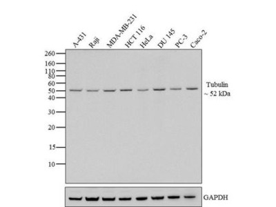 Anti-alpha Tubulin antibody [236-10501]