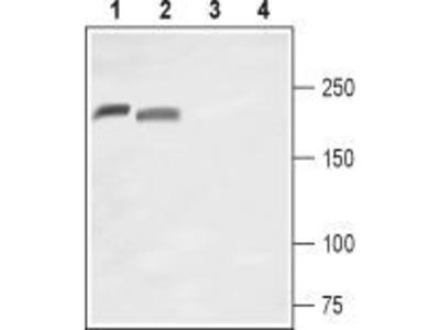 Anti-Nav1.8 antibody