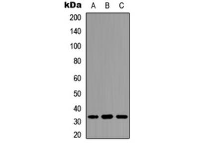 Anti-DARPP-32 (phospho Thr34) antibody