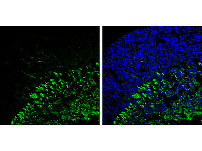 Anti-beta Tubulin 3/ Tuj1 antibody