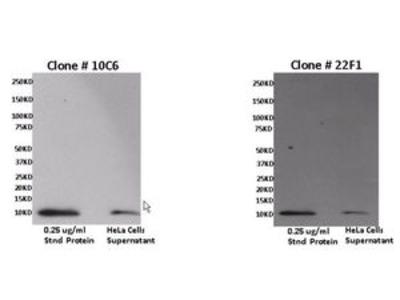 Anti-CXCL11 antibody [10C6]