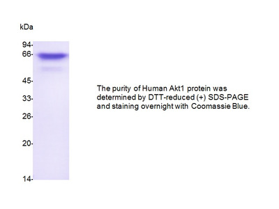 Human CellExp™ Akt1 Protein (His Tagged & Strep Tagged), human recombinant