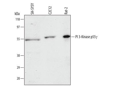 Human / Mouse / Rat PI 3-Kinase p55 gamma Antibody