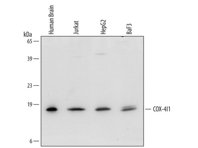 COX4-I1 Antibody