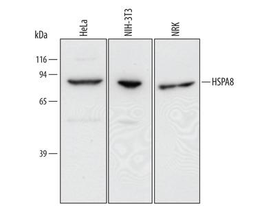 Human / Mouse / Rat HSPA8 / HSC71 Antibody