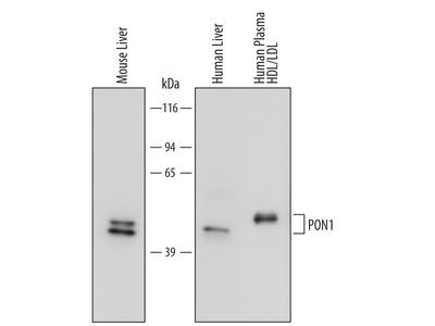 PON1 Antibody