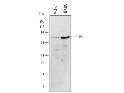 TLE3 Antibody
