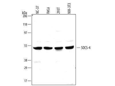 SOCS-4 Antibody