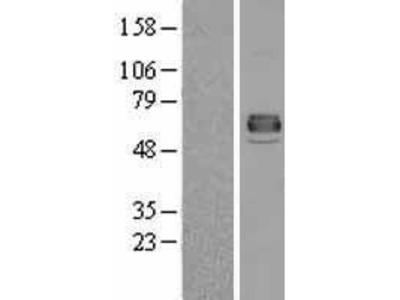 Transient overexpression lysate of alkaline phosphatase, intestinal (ALPI)