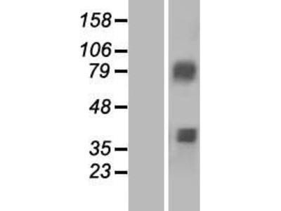 Transient overexpression lysate of acyl-CoA synthetase medium-chain family member 3 (ACSM3), transcript variant 2