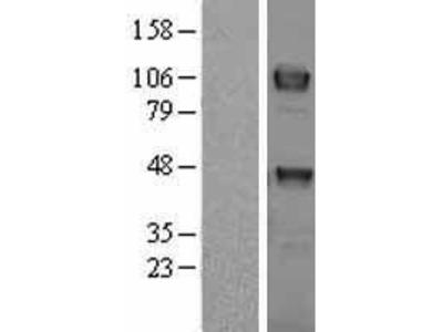 Transient overexpression lysate of TYRO3 protein tyrosine kinase (TYRO3)