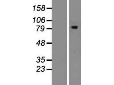 Transient overexpression lysate of mannosidase, alpha, class 1B, member 1 (MAN1B1)