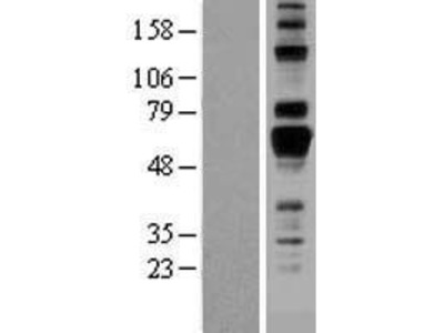 Transient overexpression lysate of adhesion molecule with Ig-like domain 1 (AMIGO1)