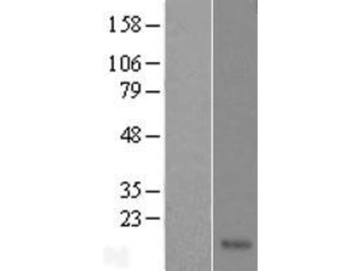 Transient overexpression lysate of family with sequence similarity 19 (chemokine (C-C motif)-like), member A4 (FAM19A4), transcript variant 1