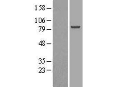 Transient overexpression lysate of chromosome 9 open reading frame 3 (C9orf3)